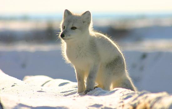 Arctic Fox in Manitoba, Canada