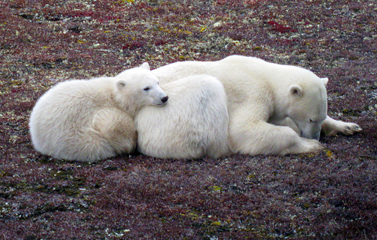 See Polar Bears in Canada While You Still Can