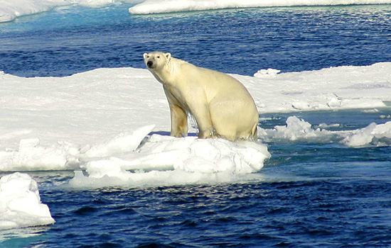 What is Happening to the World's Polar Bears?