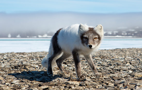 Arctic wildlife viewing - Arctic wildlife viewing