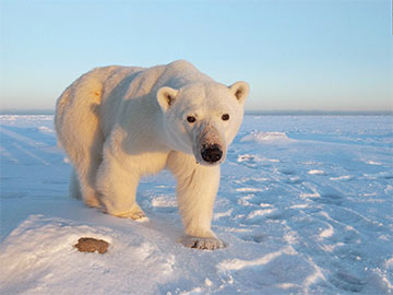 See the polar bear migration in Churchill with our 2018 special offer.