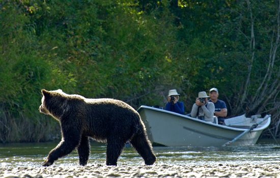 Grizzly bear wildlife safari, Campbell River