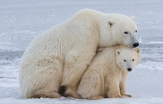 Polar bear with her cub, Churchill, Manitoba