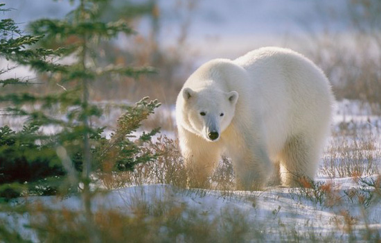 View polar bears up close in Churchill, Manitoba