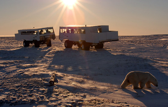 Watch polar bears from the Tundra Buggy