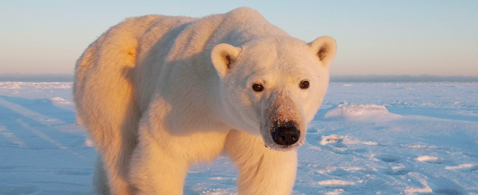 Churchill Classic Polar Bear Viewing Tour