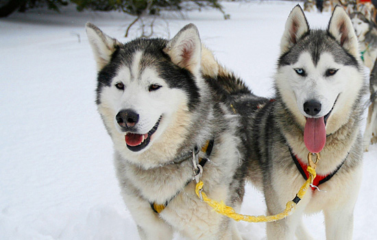 Dogsledding huskies in the snow with tongues out