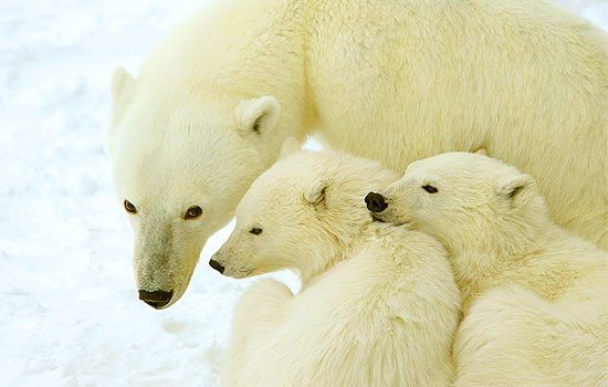 Two polar bear cubs snuggle and stay close to their mum
