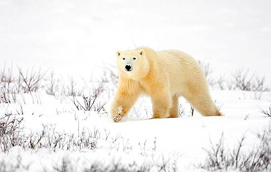 A polar bear in Churchill walks over the winter landscape
