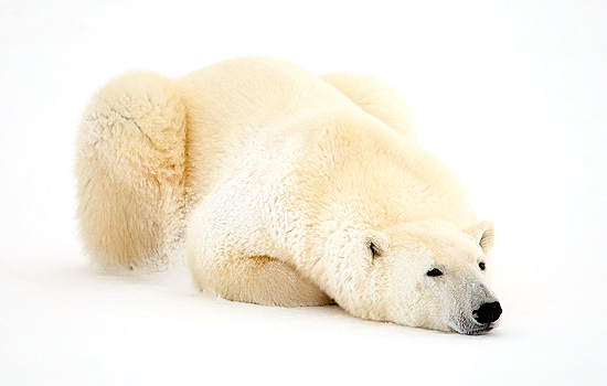 A polar bear lies in the snow