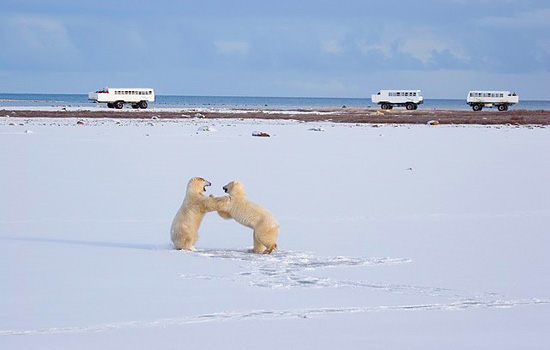 Three polar bear tour buses witness a couple of bears fighting from afar