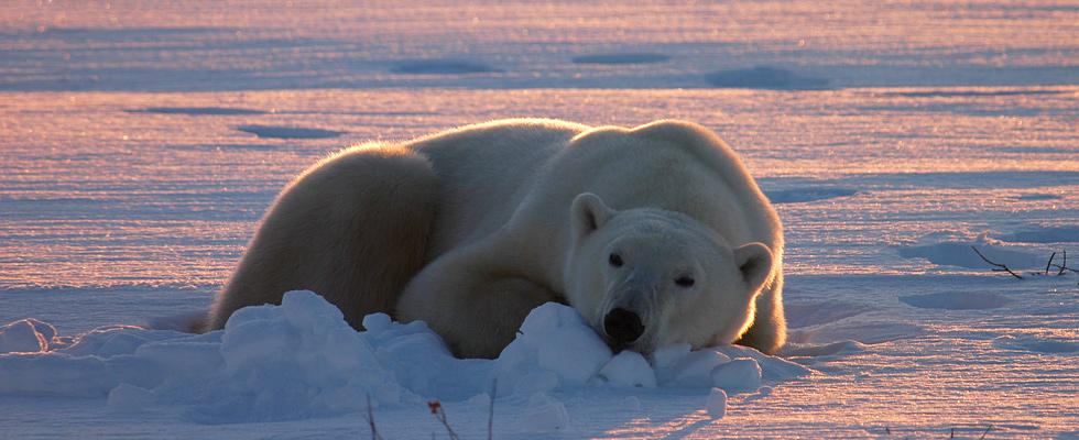 Polar Bear Expedition by Train
