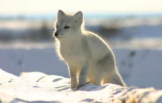 Arctic fox sitting on a snow bank
