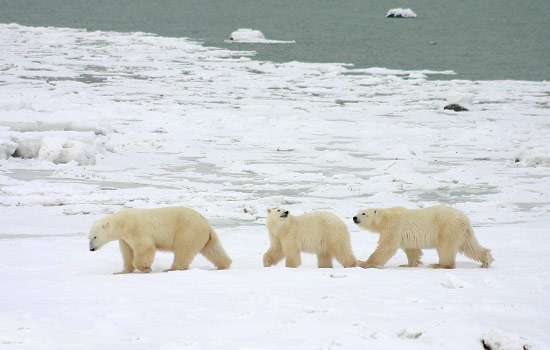 A family of polar bears wander over the frozen Hudson Bay