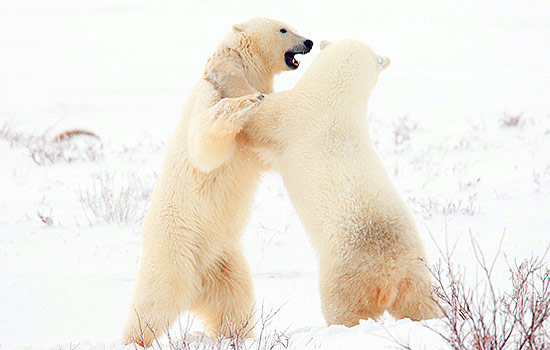Adult polar bears fighting