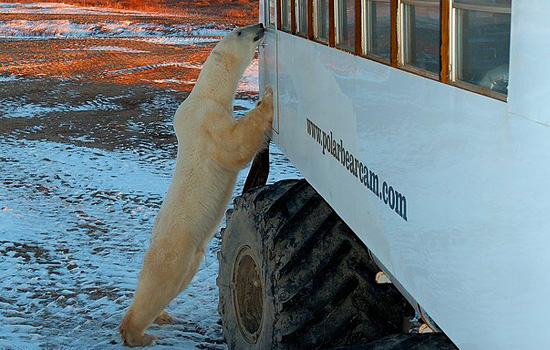 A curious polar bear stands on his hind legs to look through the window of a Tundra Buggy in Churchill