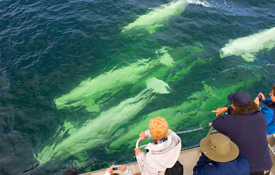 Tourists on a whale watching tour watch a pod of belugas swim by