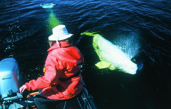 Two beluga whales swim by a woman on a Zodiac boat