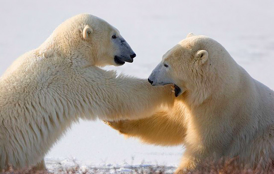 Two polar bears have a playful wrestle