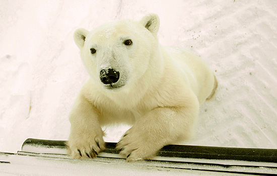 A curious young polar bears stands on his hind legs and leans against the Tundra Buggy in Churchill