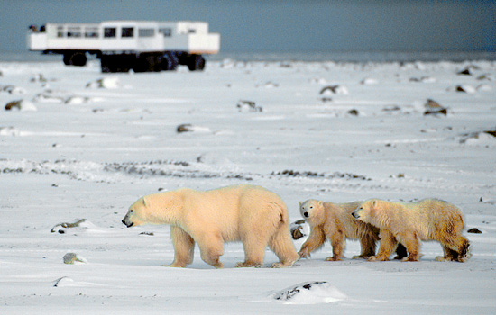 A distant Tundra Buggy on a polar bear viewing tour watches as three bears wander by