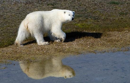 A lone polar bear on the arctic shores