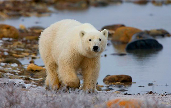 A lone polar bear walks along the Hudson Bay shoreline
