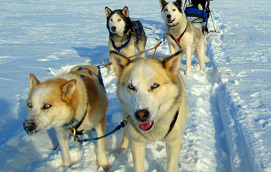 Four huskies harnessed together on a dogledding tour in Churchill