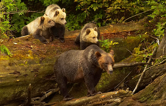 A mother grizzly bear and her three cubs climb over a fallen tree in the forest