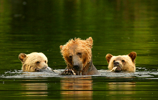 Three grizzly bears heads poke out of the water as they swim and eat salmon in a river