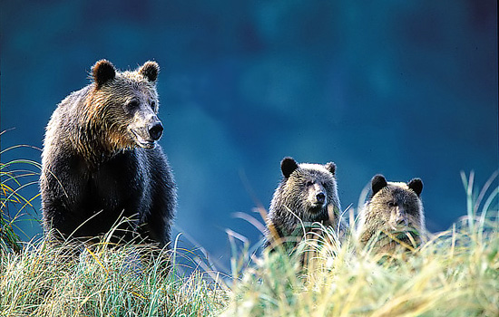 A mother grizzly bear stands in tall grass with her two cubs