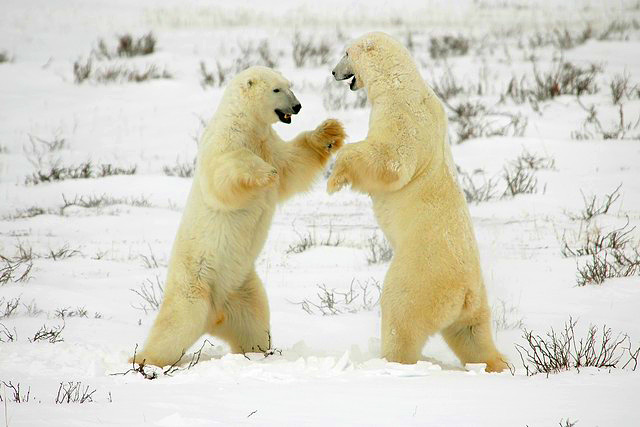 Adult polar bears wrestle in the snow