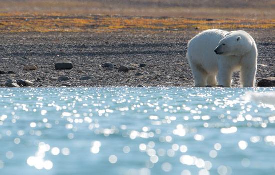 Polar bear sighting in the Canadian Arctic
