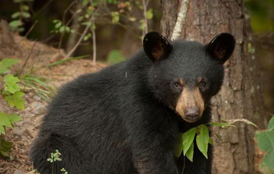 A bear cub