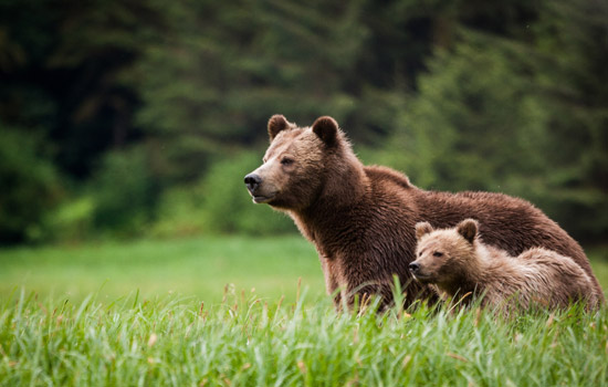 A mother grizzly bear and her cub