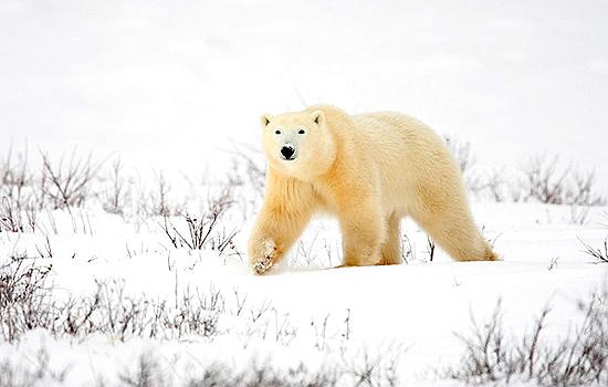 A polar bear wanders through the snow in Churchill
