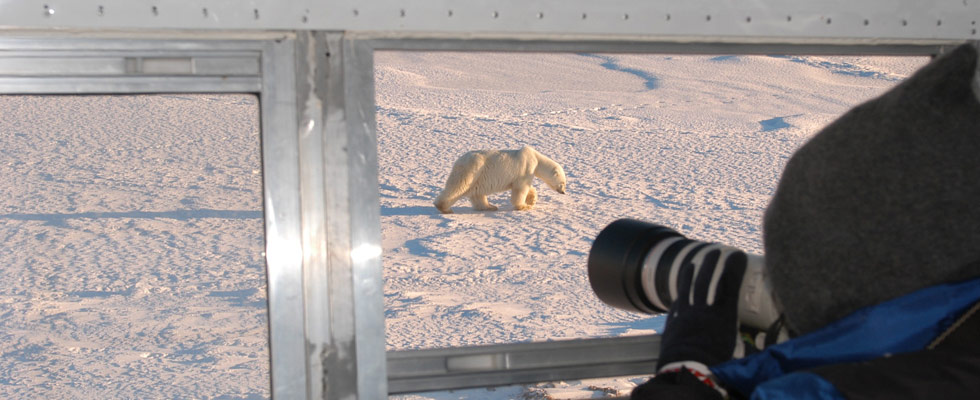 Churchill Canada polar bears - polar bear tours