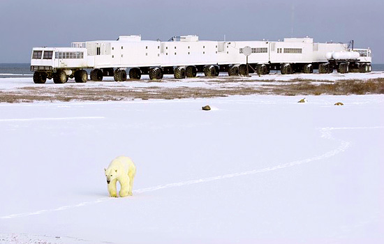 A polar bear leaves tracks in the snow as it walks by the Tundra Buggy Lodge in Churchill