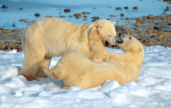 Two young polar bears play fight in the snow