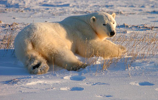 View of a polar bear lying down in the snow in Churchill