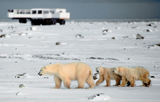 A mother polar bear and her two young wander past a Tundra Buggy on safari in Churchill