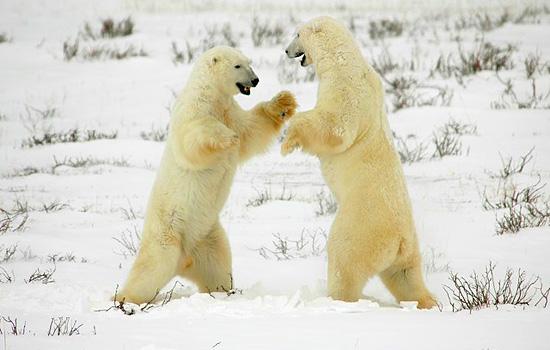 Churchill polar bears sparring in the snow