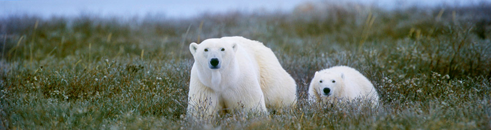 How to get the most out of your Canada polar bear tour