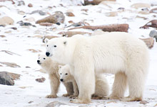 Browse Canadian Polar Bear Trips and Sample Itineraries