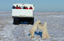 A once-in-a-lifetime opportunity to watch two Polar Bears spar