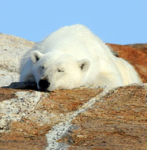 Summer Polar Bear Tours